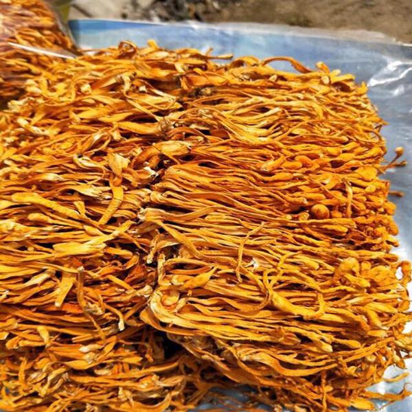 Cách sấy nấm đông trùng hạ thảo khô giữ nguyên hình dạng và màu sắc